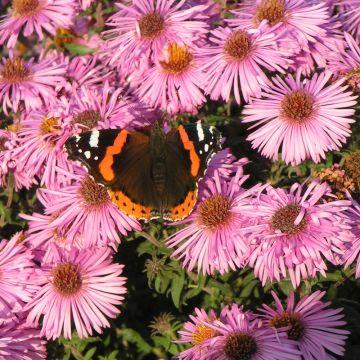 Luktaster (Aster novae angliae Purple 'Dome')