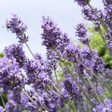 Lavendel (Lavendula angustifolia 'Hidcote')