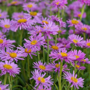 Alpaster (Aster alpinus 'Happy End')