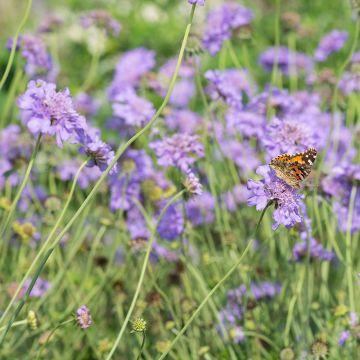 Fältvädd (Scabiosa columbaria 'Butterfly Blue')