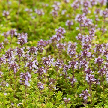 Backtimjan (Thymus serpyllum)