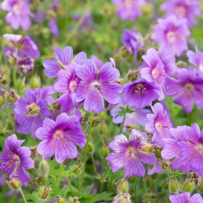 Kungsnäva (Geranium magnificum)