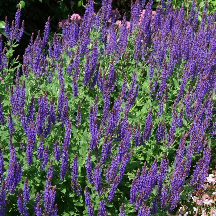 Stäppsalvia (Salvia nemorosa 'Ostfriesland') 8-pack
