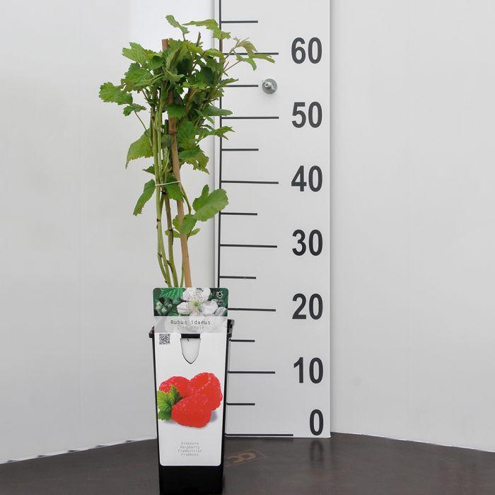 Sommarhallon (Rubus i. 'Glen Ample')