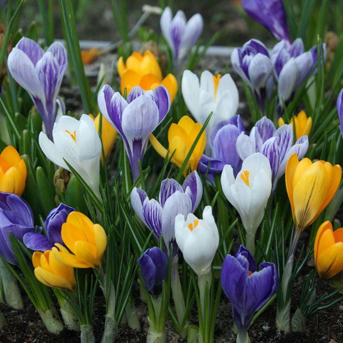 Vårkrokus i blandade färger (Crocus vernus) 12-pack