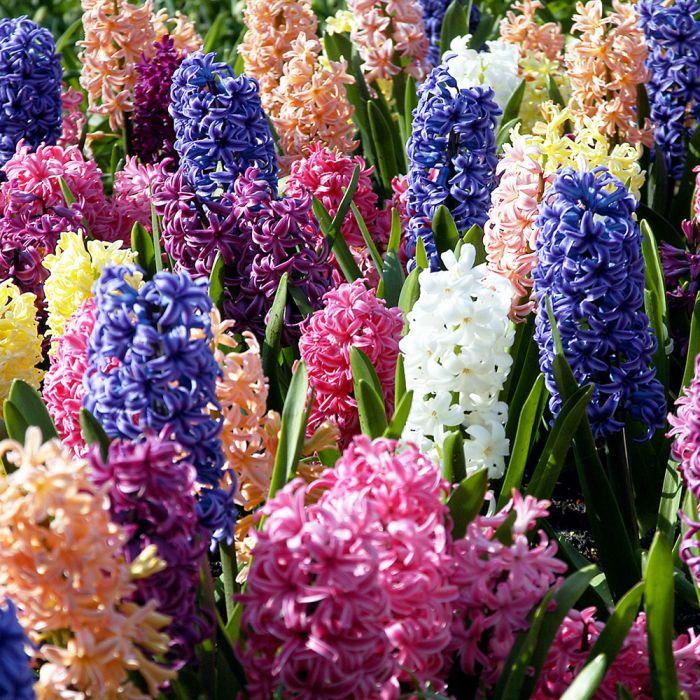 Hyacintblandning (Hyacinthus orientalis) 3-pack