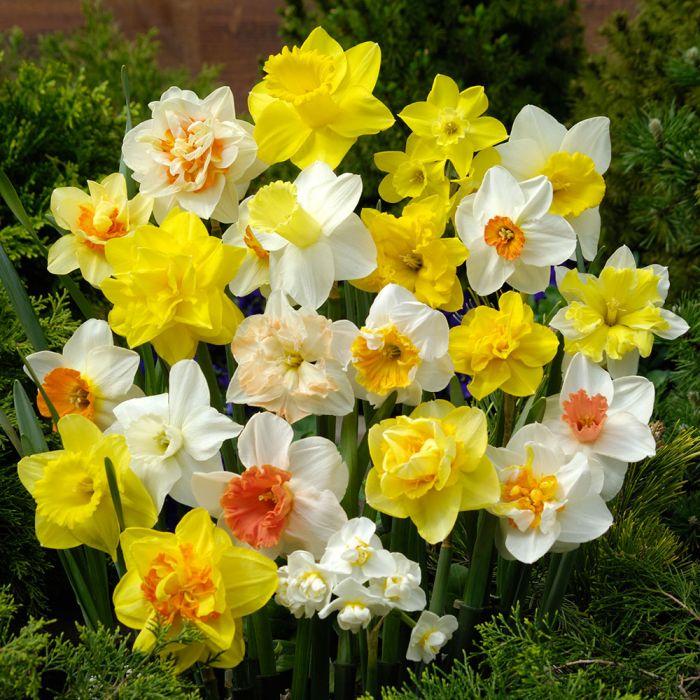 Blandning av narcisser (Narcissus divers) 5-pack