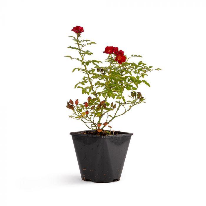 Bijenweelde® Röd Ros