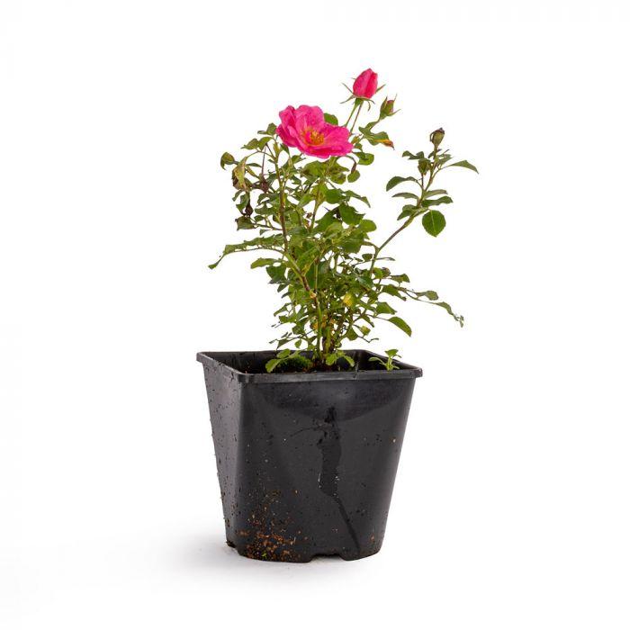 Bijenweelde® Rosa