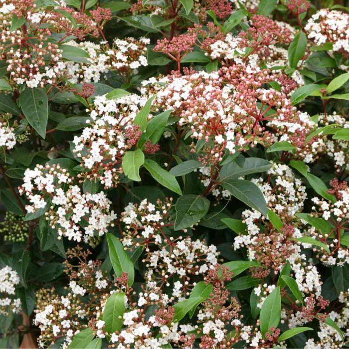 Lagerolvon (Viburnum tinus laurustinus)