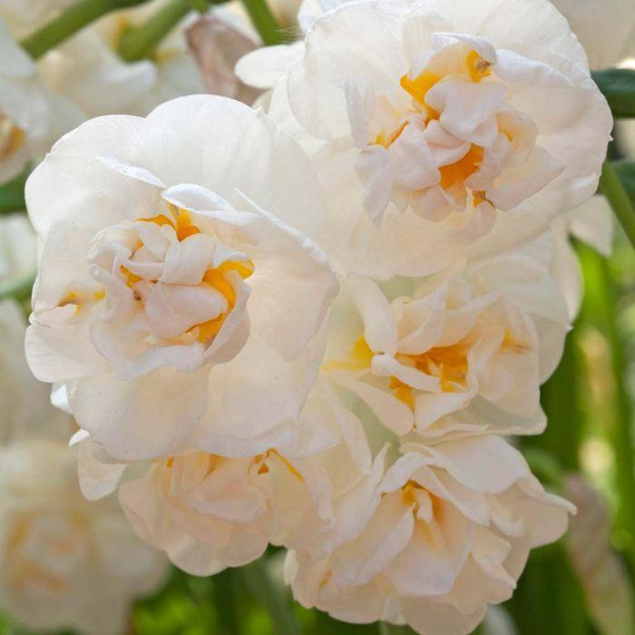 Tazettnarciss 'Bridal Crown' (Narcissus 'Bridal Crown') 5-pack