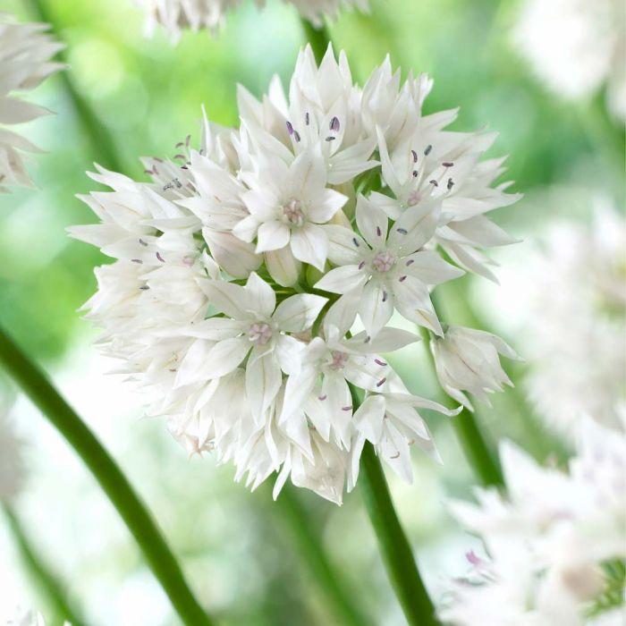 Papperslök (Allium amplectens 'Graceful Beauty') 10-pack