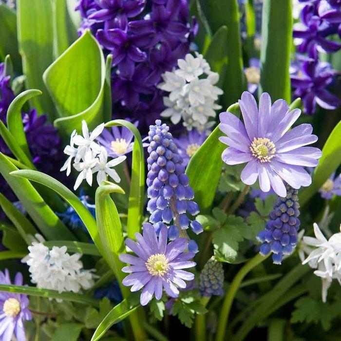 Frö- och lökväxtpaket, lila