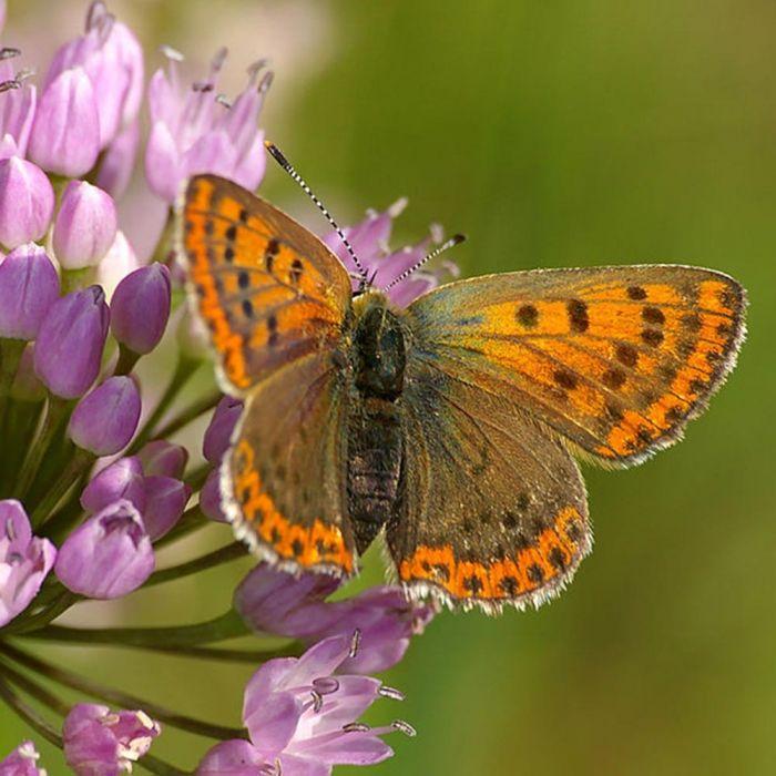 Lökblandning för fjärilar