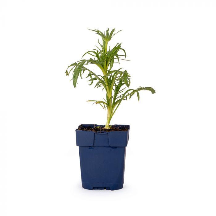 Höstvädd (Scabiosa caucasica 'Alba' bio)