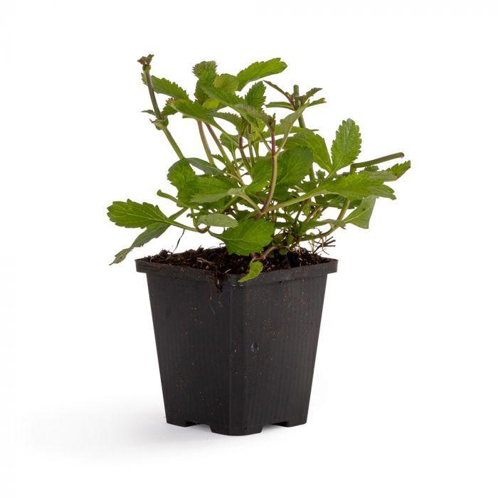 Jätteverbena (Verbena bonariensis) 8-pack